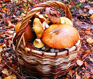 грибные места Ленобласти карты календарь грибника и грибы