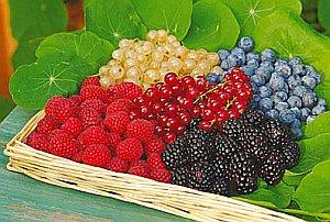 лесные ягоды Ленинградской области