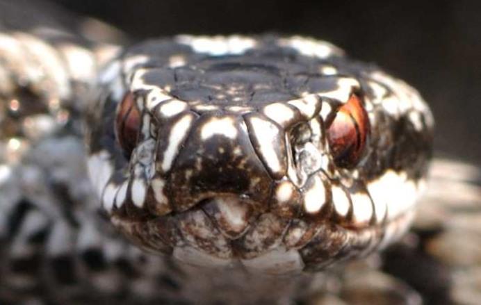 ядовитые змеи ленинградской области