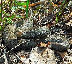 змеи в Ленинградской области